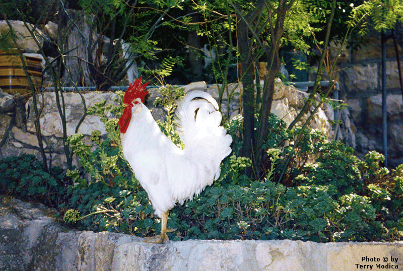 The rooster's crow convicted Peter of his sin